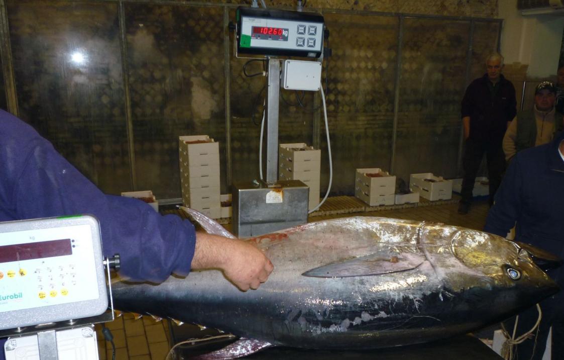 tonno-rosso-pesca-latina-687524049578