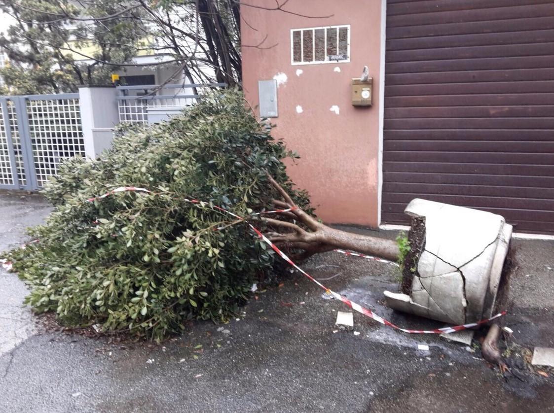albero-abbattuto-gigante-buono-latina