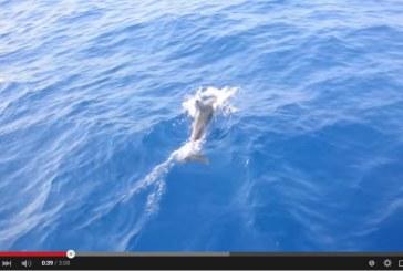 VIDEO I delfini nuotano tra Ponza e Ventotene