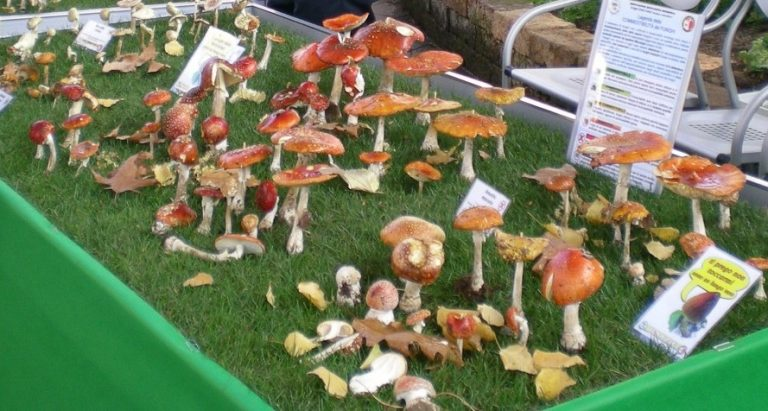 Come riconoscere i funghi? A Latina un'esposizione con gli esemplari più diffusi