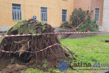 VIDEO FOTO Un albero crolla sul Vittorio Veneto in viale Mazzini