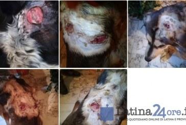 FOTO Orrore a Norma, cani sfregiati con l'acido