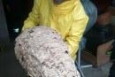 FOTO Ad Aprilia un enorme nido di calabroni rimosso dai vigili del fuoco