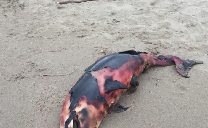 FOTO Delfino spiaggiato vicino alla Bufalara