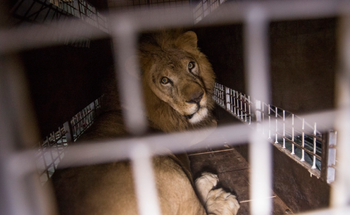Domatore di Latina ferito da un leone nel circo